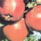 Sağlıklı yaşamın lezzetli sırrı: Elma